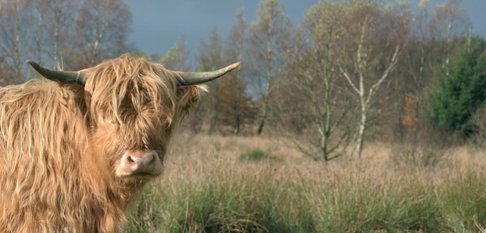 vache, prairie, hebre, arbres