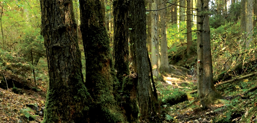 bomen, bos, natuur, groen
