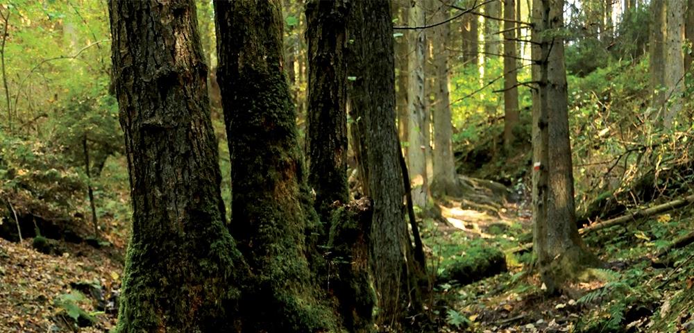 arbres, forêt, nature, vert