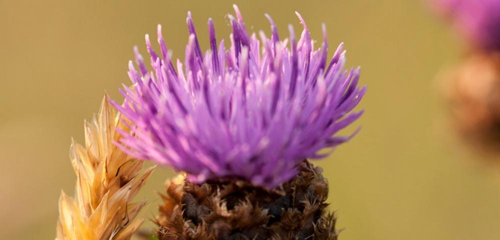 plante, fleur, violet