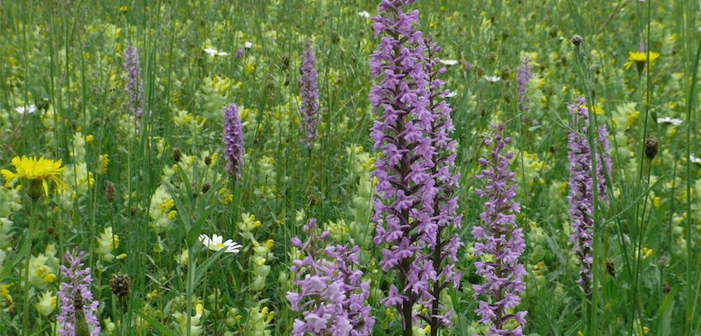 herbe, prairie, vert, fleurs, violet