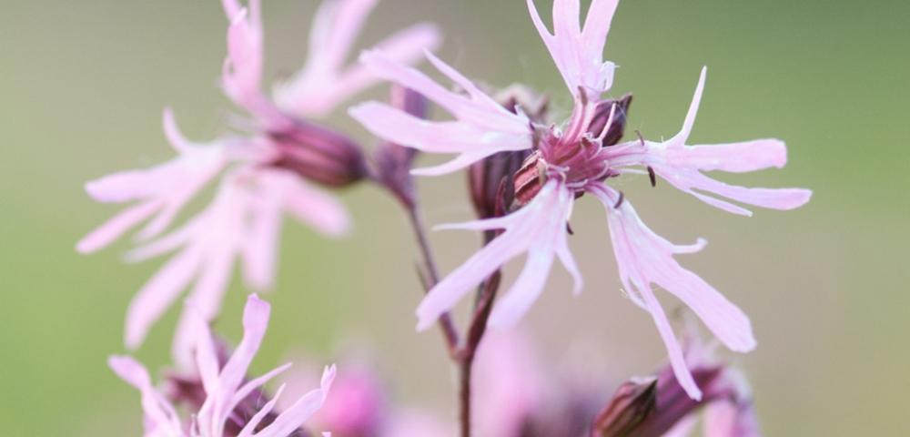 fleurs, plante, violet