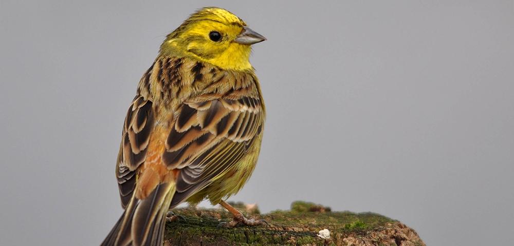 vogel, geel