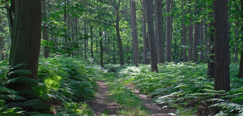 Forêt, arbres, chemin