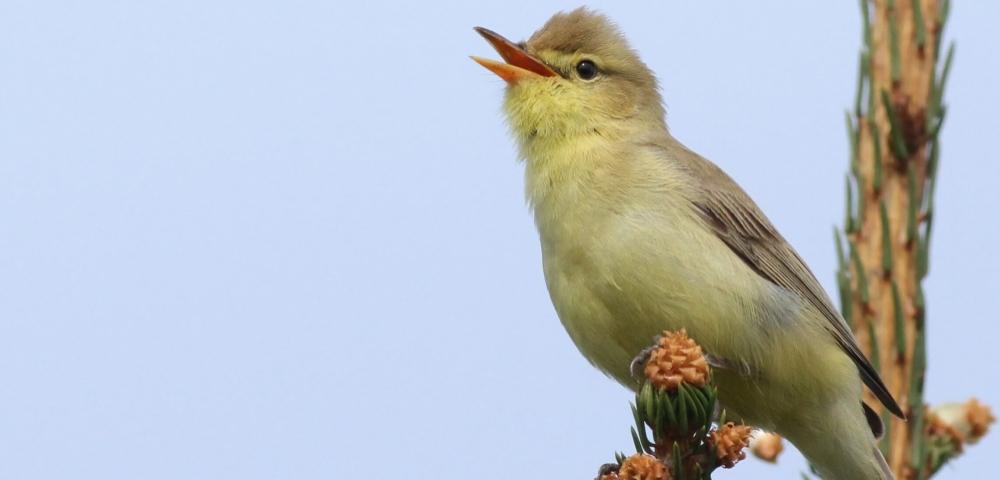 oiseaux - Hypolaïs polyglotte