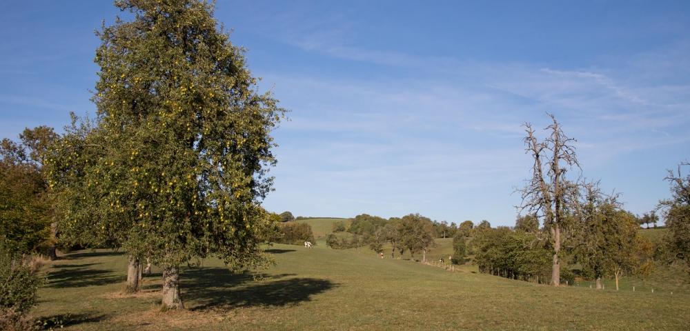 Boomgaarden, appelboom