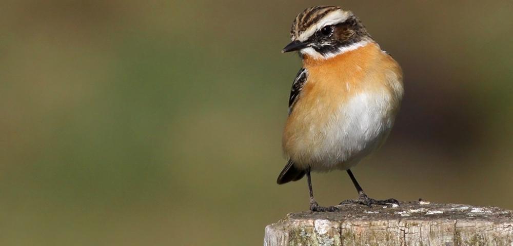 oiseau, Tarier des prés