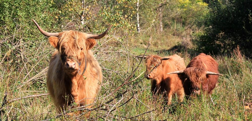 vaches, Highlands, Galloways